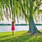 A szomorú fűzfa története