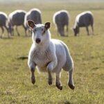 Az egyszeri bárányka